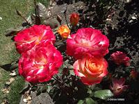 Nancy Hayward high climbing rose - Christchurch Botanic Gardens, New Zealand