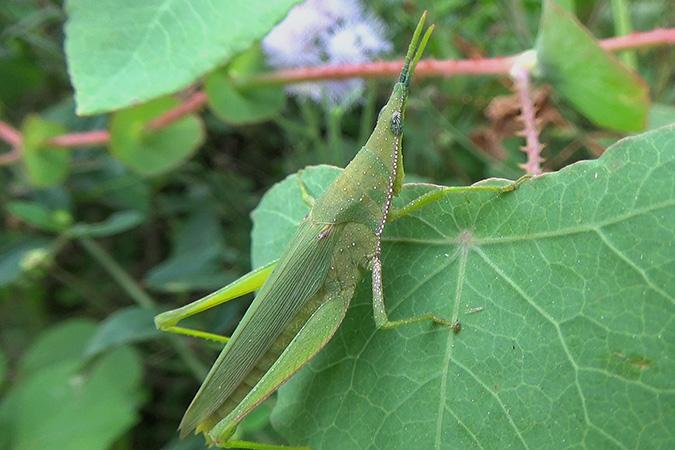 Dlium Kukus grass pyrgomorph (Atractomorpha crenulata)