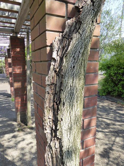 王仁公園の藤の木(幹)