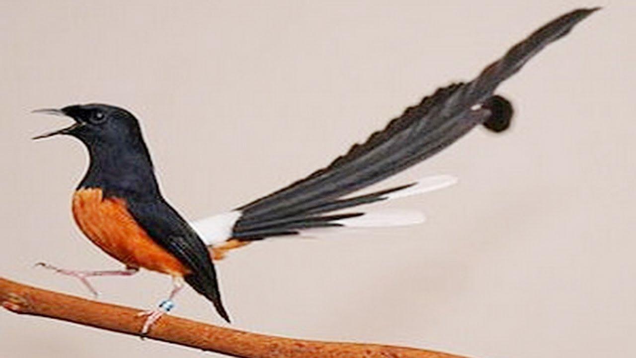 Cara Merawat Burung Kacer Sebelum Dan Sesudah Kontes Mudah Dan Tidak Ribet Informasi Umum