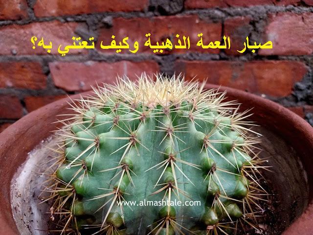 صبار عمة القاضي الذهبية Echinocactus grusonii