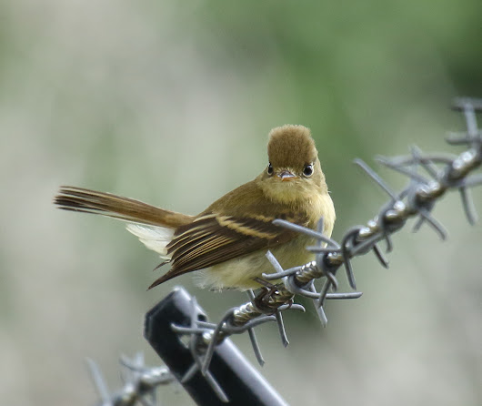 Up Close with a Pacific-slope Flycatcher