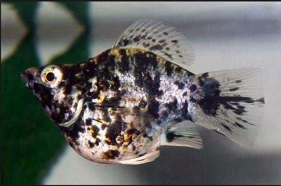 Ikan Hias Marmer Lyretail Molly