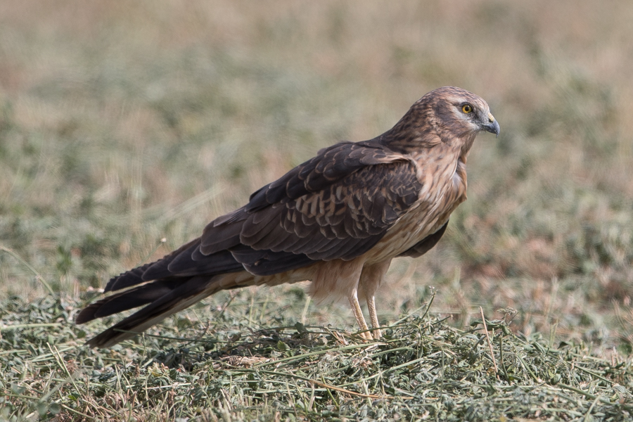 Winter Harriers – Haradh
