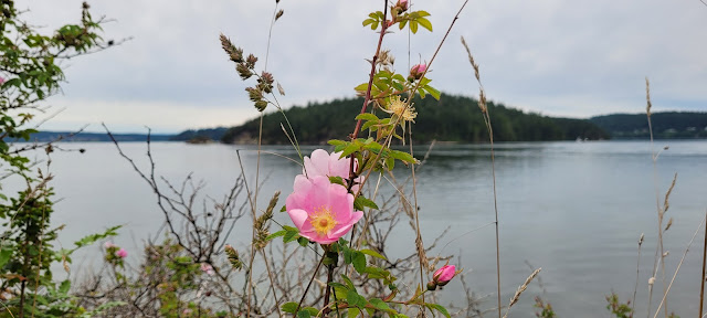 Wild Roses in Bloom and the beautiful view of the water at La Conner