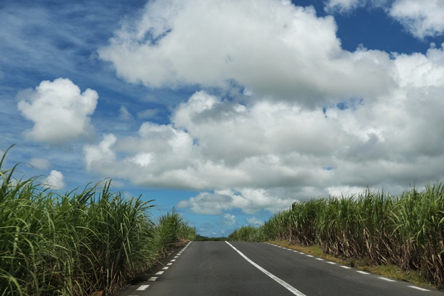 Sugar cane fields along the road