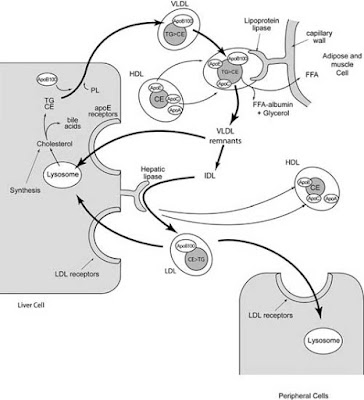 Formation of VLDL and metabolism into LDL