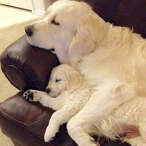 Golden Retriever :Mom And Baby