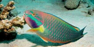 ikan hias pemakan lumut