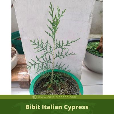 Bibit Italian Cypress