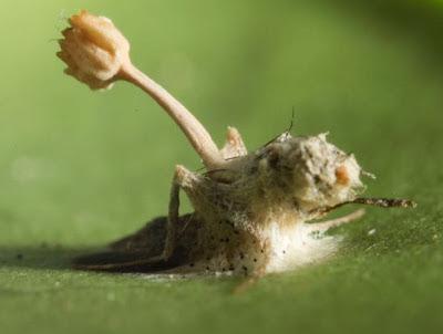 Ophiocordyceps fungus zombie fly