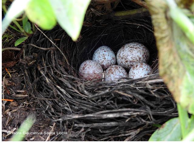 Huevos de aves - Chacra Educativa Santa Lucía