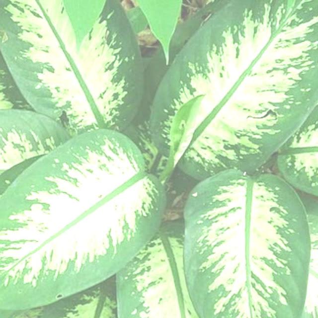 Tanaman Hias Daun Lebar Batik Foto