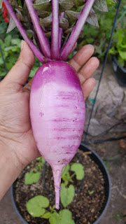 Purple Diakon Radish