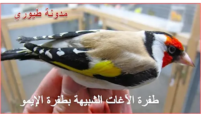 علم الطفرات عند الحسون (صور لكل أنواع الطفرات عند طائر الحسون ) الجزء الثالث