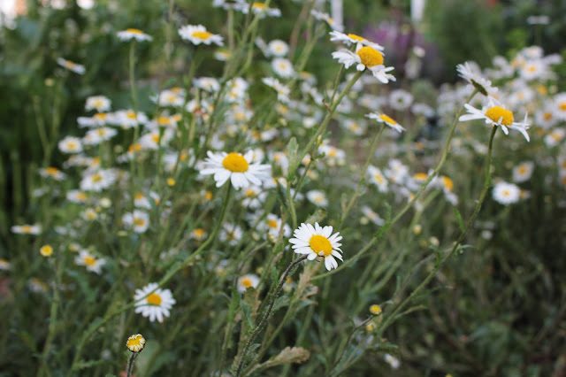 A swathe of ox-eye daisies