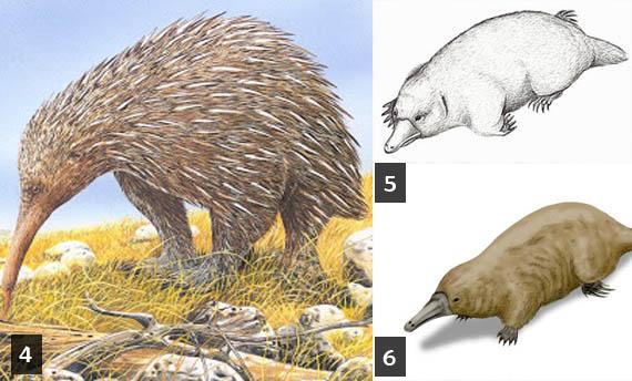 mamalia berkembang biak dengan cara beranak atau melahirkan anak dari dalam rahim indukny 6 Contoh Hewan Mamalia yang Bertelur dan Gambarnya