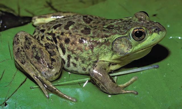 Rüyada kurbağa görmek ne demek anlamı nedir? rüyada kurbağa sesi duymak, kurbağa ile konuşmak, kurbağa avlamak görmek yorumu.