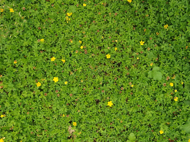 Potentilla reptans covers my front lawn