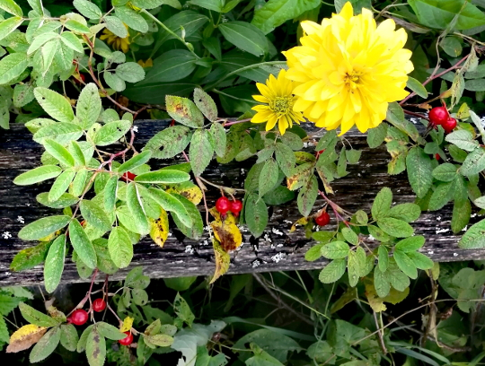 куст шиповника в саду