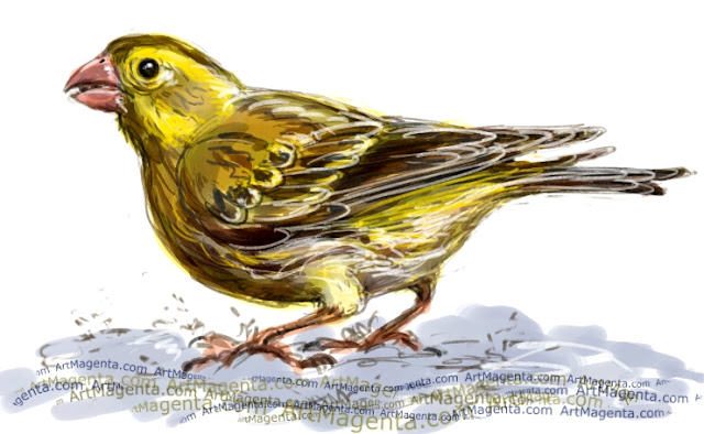 European serin sketch painting. Bird art drawing by illustrator Artmagenta