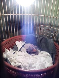 Lampu Penghangat Bagi Anakan Lovebird Umur 2 Minggu Sampai 1,5 Bulan