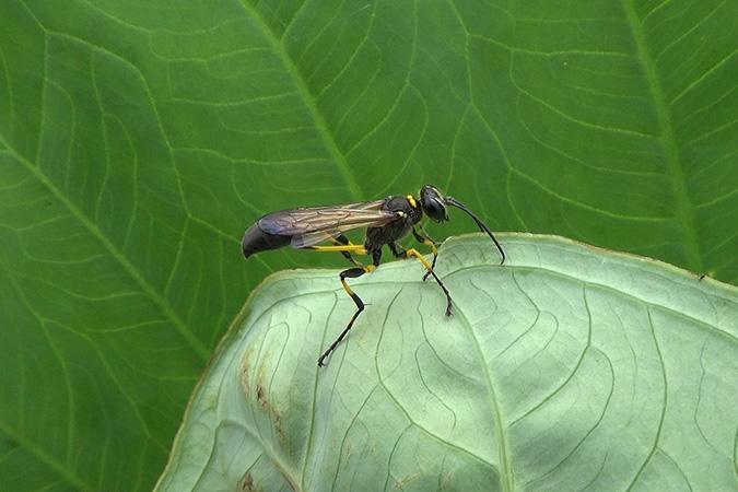 Dlium Klilip mud-dauber wasp (Sceliphron madraspatanum)