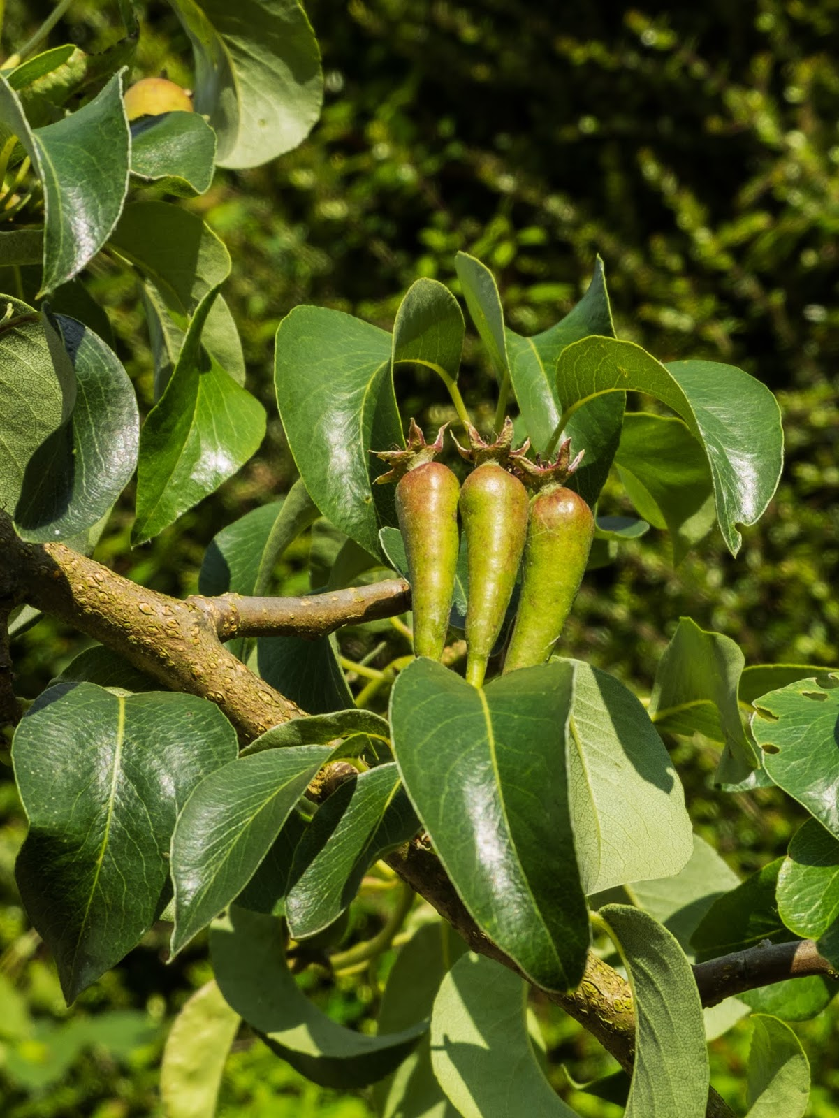 A close up of three pears growing upwards on the tree in the sunlight.