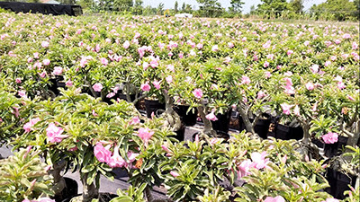Vườn sứ Kỳ Duyên của anh Sỹ trổ đầy hoa thu hút ánh nhìn người đi đường