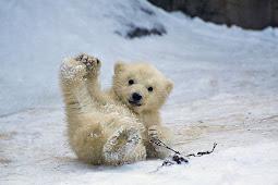 ホッキョクグマ可愛い写真 Polar Bear Cute Photo 5