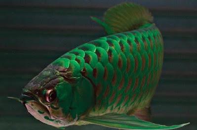 gambar Ikan arwana hijau