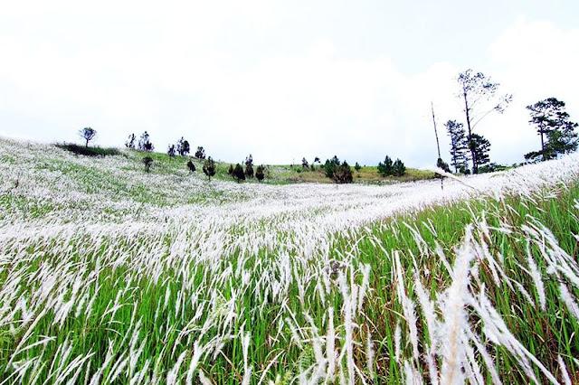 Một cánh đồng bông hoa bỏ lau trắng xóa tựa bông đang nghiêng mình đung đưa trước gió.