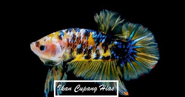 Cara Budidaya Ikan Cupang Hias yang Benar agar Mendapatkan ...
