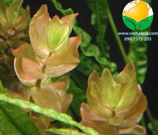 Phụ kiện thủy sinh - cây lệ nhi trồng hậu cảnh