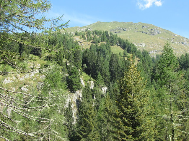 Conifere sulle Alpi Italiane