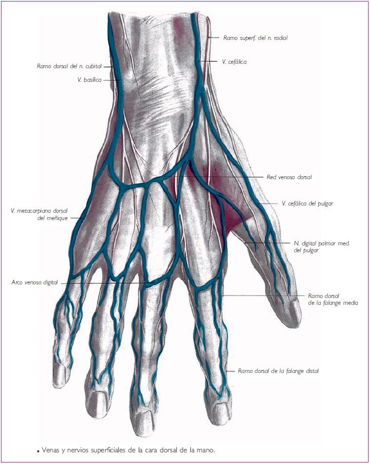 Vistoso La Anatomía De La Muñeca Palmar Modelo - Anatomía de Las ...
