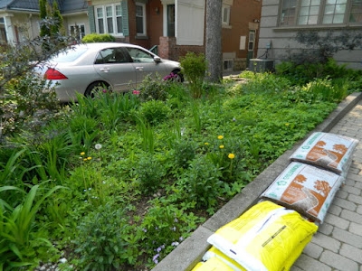 Toronto Bedford Park Front Yard Goutweed Removal Cleanup Before by Paul Jung Gardening Services--a Toronto Organic Gardener