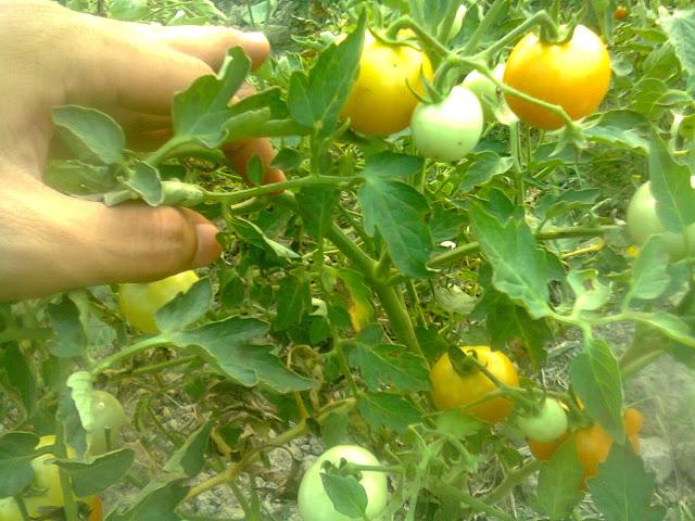 Tanaman Tomat Rampai yang Pernah Saya Pupuk Pakai NPK mutiara