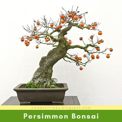 Persimmon Bonsai