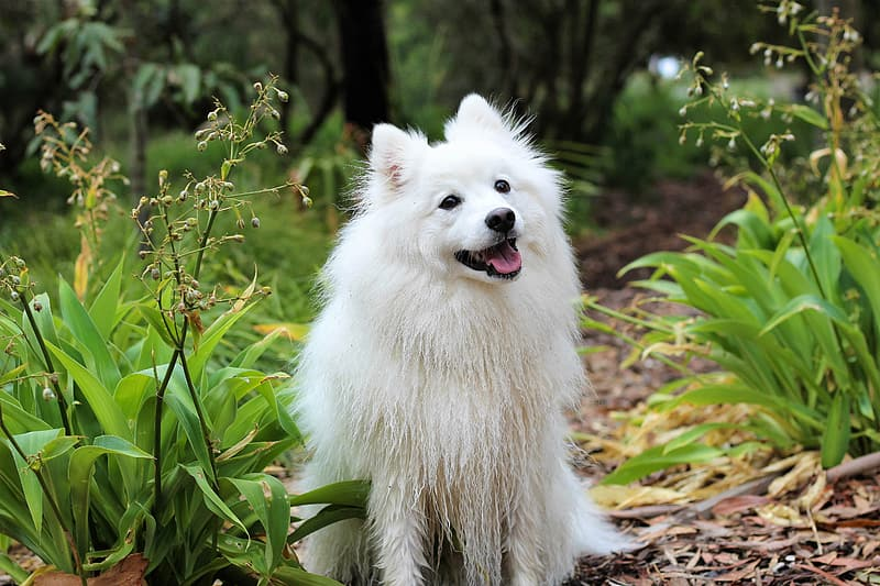 American Eskimos Dog
