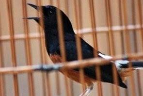 Berbagai Jenis Makanan Penurun Birahi Burung Kicau Paling Lengkap