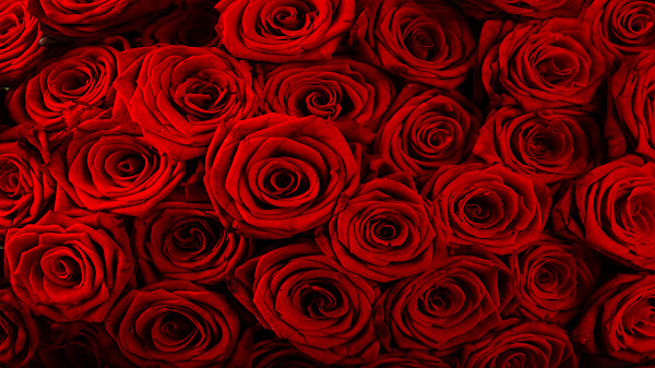 wallpaper mawar merah
