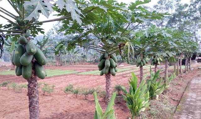 Ciri Ciri Pohon Pepaya