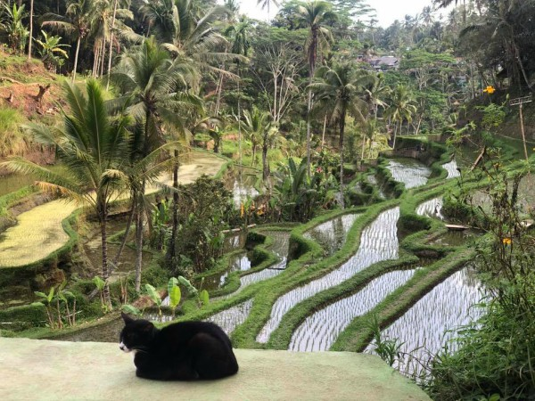 tegalang rice fields