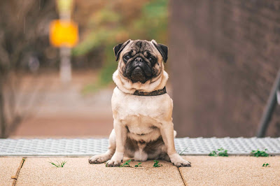Chinese dog breeds, chinese pug names