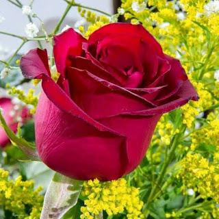 صور ورود رائعة - صور زهور - بطاقات ورد