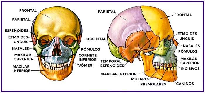 Huesos del cráneo: vista anterior y lateral