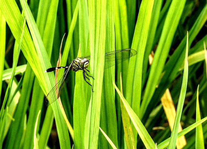 Dragonfly at the green leaf of rice