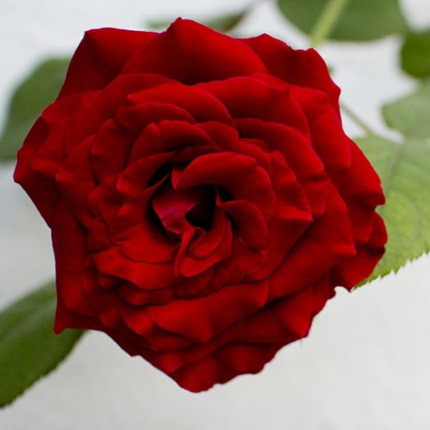 Red Rose Garden Wallpaper Engine