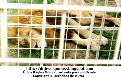 Foto de León durmiendo en su jaula dentro del Parque de las Leyendas. Foto tomada por Jesus Gómez